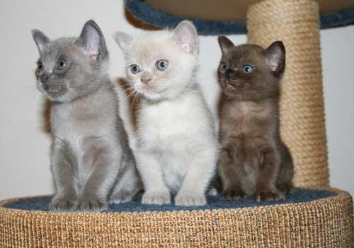 Burmese cat coat colours